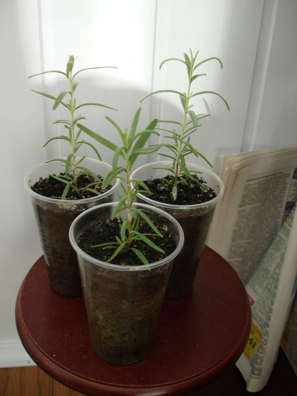 Черенки жимолости - размножение Сайт о саде, даче и комнатных растениях 34